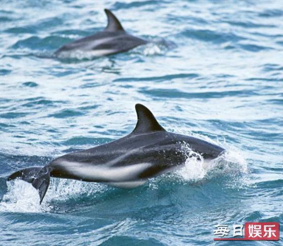 日本捕1430吨鲸肉是怎么回事 鲸鱼肉真的可以吃吗?