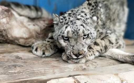 四川石渠雪豹打架是怎么回事 两只雪豹打架的原因是什么?